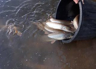 empoissonement étang pêche